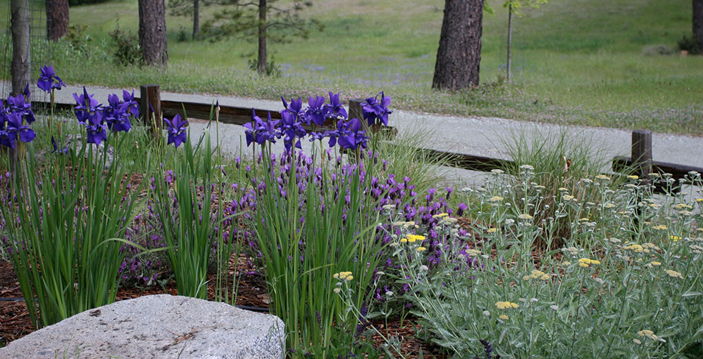 foothill architectural landscaping photo of irises